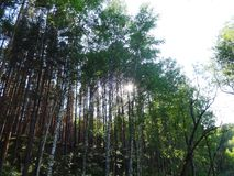 杉木森林在夏天37 库存照片