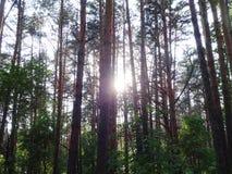 杉木森林在夏天38 库存照片