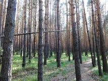 杉木森林在夏天38 库存图片