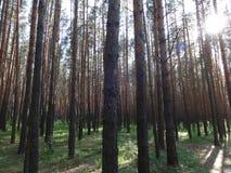 杉木森林在夏天39 免版税库存照片