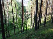 杉木森林在夏天39 图库摄影