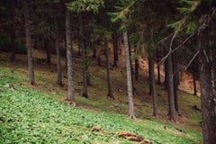 杉木森林在山的 免版税图库摄影