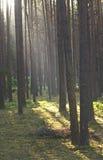 杉木森林在日出的清早 库存照片