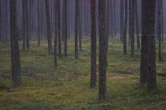 杉木森林在早晨 免版税库存图片