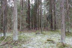 杉木森林在早期的春天 免版税库存图片