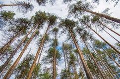 杉木森林在春天 库存照片