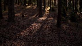 杉木森林在晴朗的早晨 股票录像