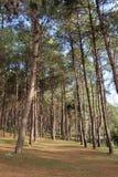 杉木森林在泰国 免版税库存图片