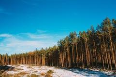 杉木森林在深蓝天,俄国自然下 库存图片