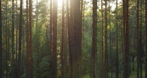 杉木森林在温暖的夏日 免版税库存图片