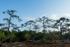杉木森林在白天 库存照片