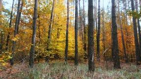 杉木森林在秋天期间 免版税图库摄影