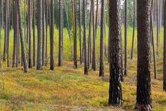 杉木森林在Jurmala 免版税库存照片