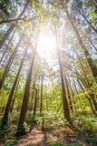 杉木森林日出 库存照片