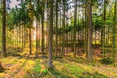 杉木森林是春天,埃菲尔火山县格罗尔斯泰因德国 库存图片