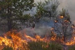 杉木森林火灾 库存照片