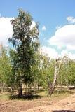 杉木森林的看法在一b权利好日子 乌克兰的本质 免版税库存图片