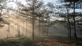 杉木森林秋天秋天风景有雾的早晨,光芒在杉木森林里 免版税库存图片