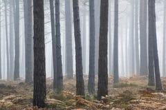 杉木森林秋天秋天风景有雾的早晨 库存照片