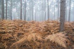 杉木森林秋天秋天风景有雾的早晨 图库摄影