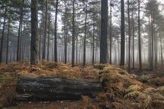 杉木森林秋天秋天风景有雾的早晨 免版税图库摄影