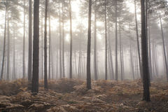 杉木森林秋天秋天风景有雾的早晨 免版税库存照片