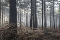 杉木森林秋天秋天风景有雾的早晨 免版税库存图片