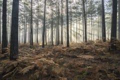 杉木森林秋天秋天风景有雾的早晨 库存图片