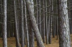 杉木森林细节 库存照片