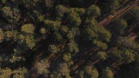 杉木森林自上而下的视图 飞行在有照相机的一个罕见的杉木森林降下了垂直下来 股票视频
