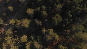 杉木森林自上而下的视图 飞行在有照相机的一个罕见的杉木森林降下了垂直下来 影视素材