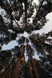 杉木森林视图从下面 库存图片