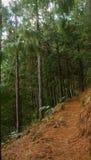 杉木森林道路,南非 免版税库存图片