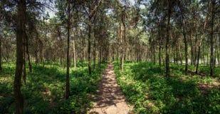 杉木森林道路 Mirgorod 手段 全景 库存图片