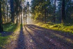 杉木森林郊外日落的 免版税库存图片