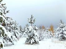 杉木森林风景  免版税图库摄影