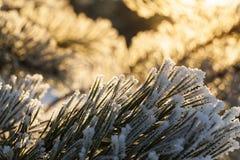 杉木森林,冬天 库存图片
