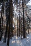 杉木森林,冬天 库存照片