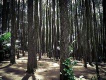 杉木森林,日惹,印度尼西亚 库存照片