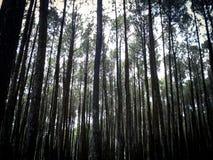 杉木森林,日惹,印度尼西亚 免版税库存图片