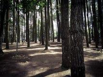 杉木森林,日惹,印度尼西亚 免版税库存照片