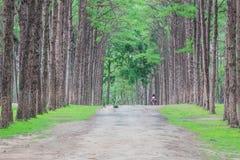杉木森林, Suan儿子bor Kaew在清迈泰国,未看见的Th 图库摄影