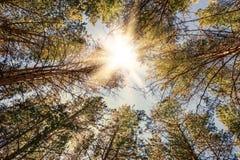 杉木森林晴天 库存照片
