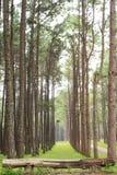 杉木森林 库存照片