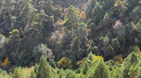 杉木森林 免版税库存图片