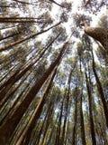 杉木森林 免版税图库摄影