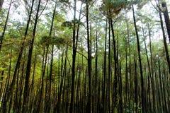 杉木森林 免版税库存照片