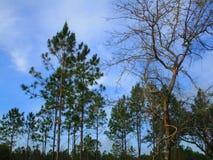 杉木森林 库存图片