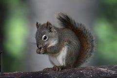 杉木灰鼠 免版税库存图片