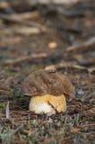 杉木牛肝菌蘑菇 免版税图库摄影